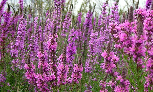 Purple_Loosestrife_page_image