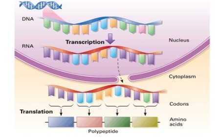 dna-replication-transcription-and-translation-1-638